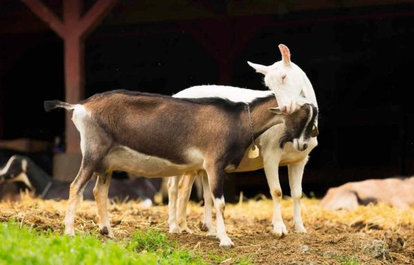 Capra neagră De ce visează o capră albă