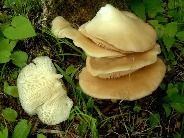 ce ciuperci îmbunătățesc vederea