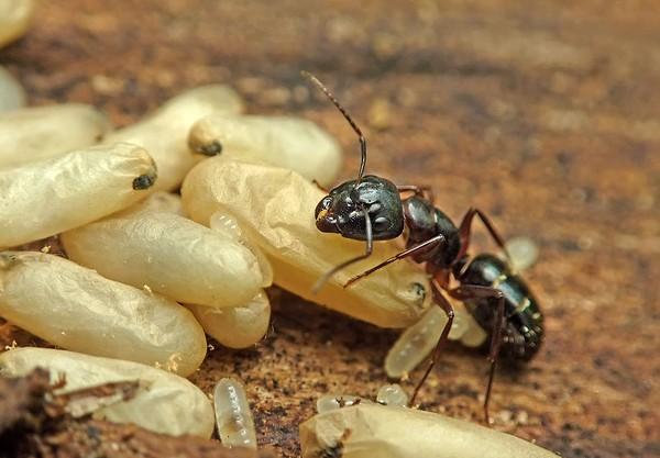 gama de vedere a furnicilor)