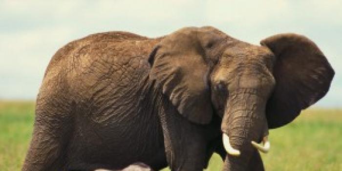 de ce elefanții au o vedere slabă