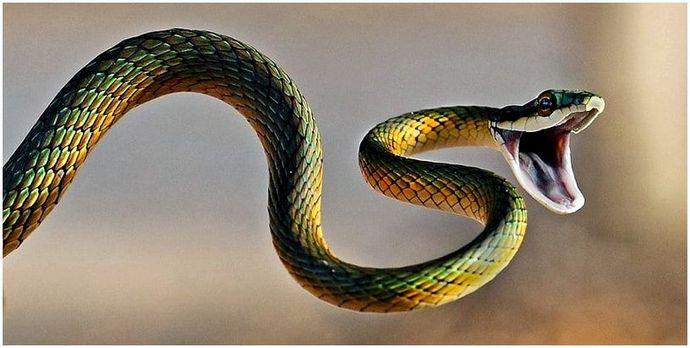 caracteristici ale viziunii șarpelui