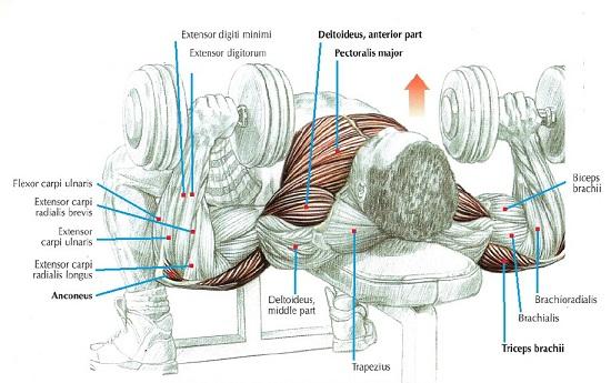 Ce masa au halterele din salile de fitness din RO? - Forumul Softpedia