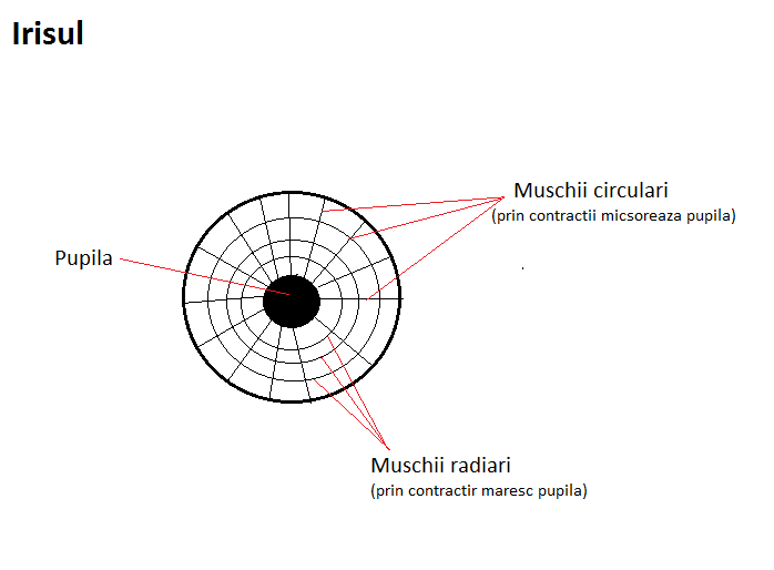 receptorul vederii diurne)