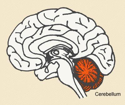 cerebelul este responsabil de vedere)