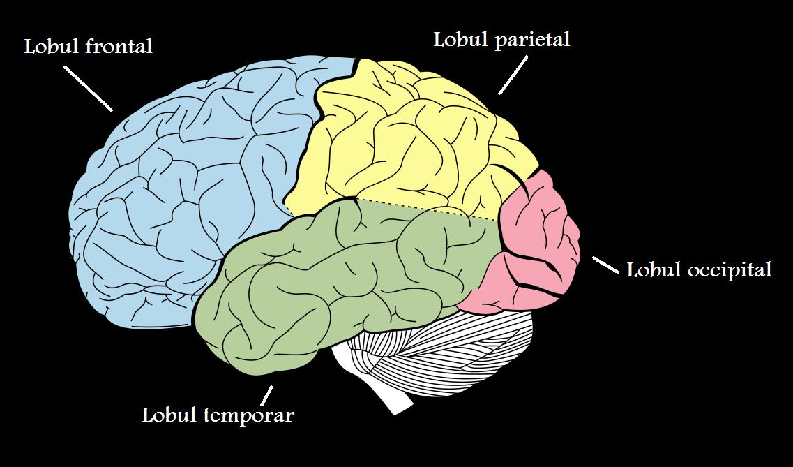 partea creierului care este responsabilă pentru vedere
