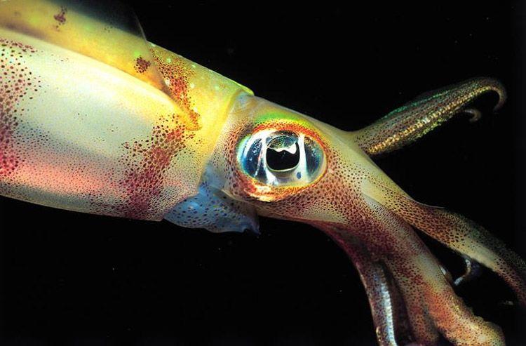 Care e diferența între calamar, sepie și caracatiță?