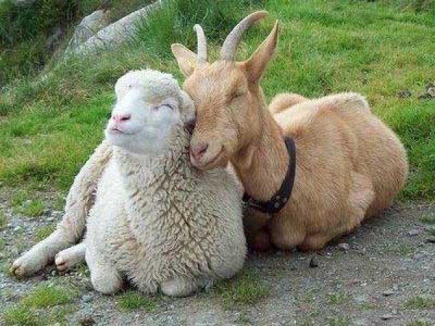 care este viziunea unei capre