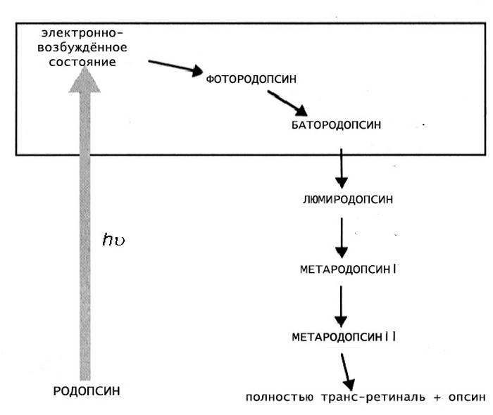 rodopsină și viziune)