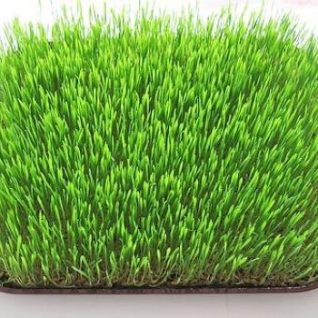 iarba de grâu îmbunătățește vederea)