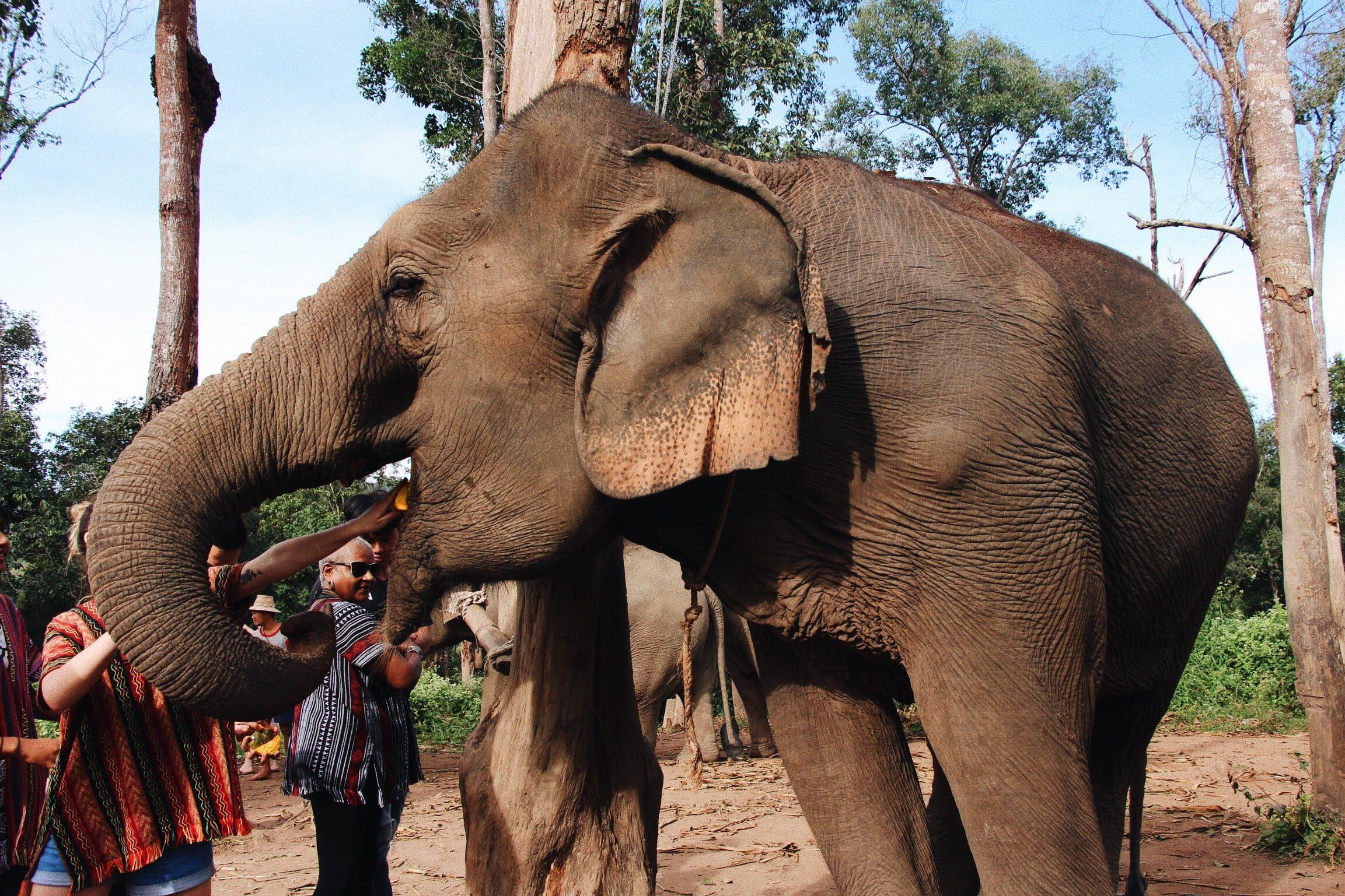 de ce elefanții au o vedere slabă)