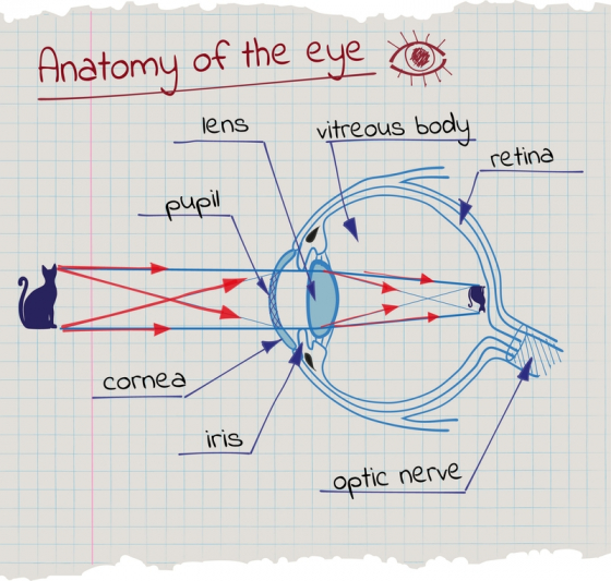 ce vitamine sunt necesare pentru restabilirea vederii oligopeptide 14 cum să aplici pentru vedere