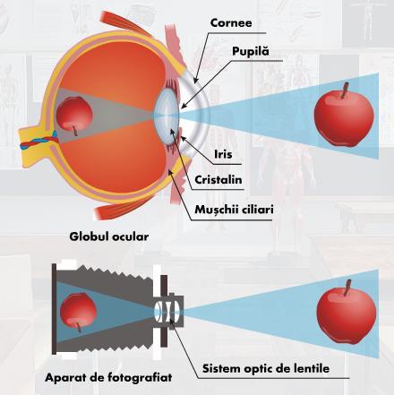 diagramă de formare a vederii