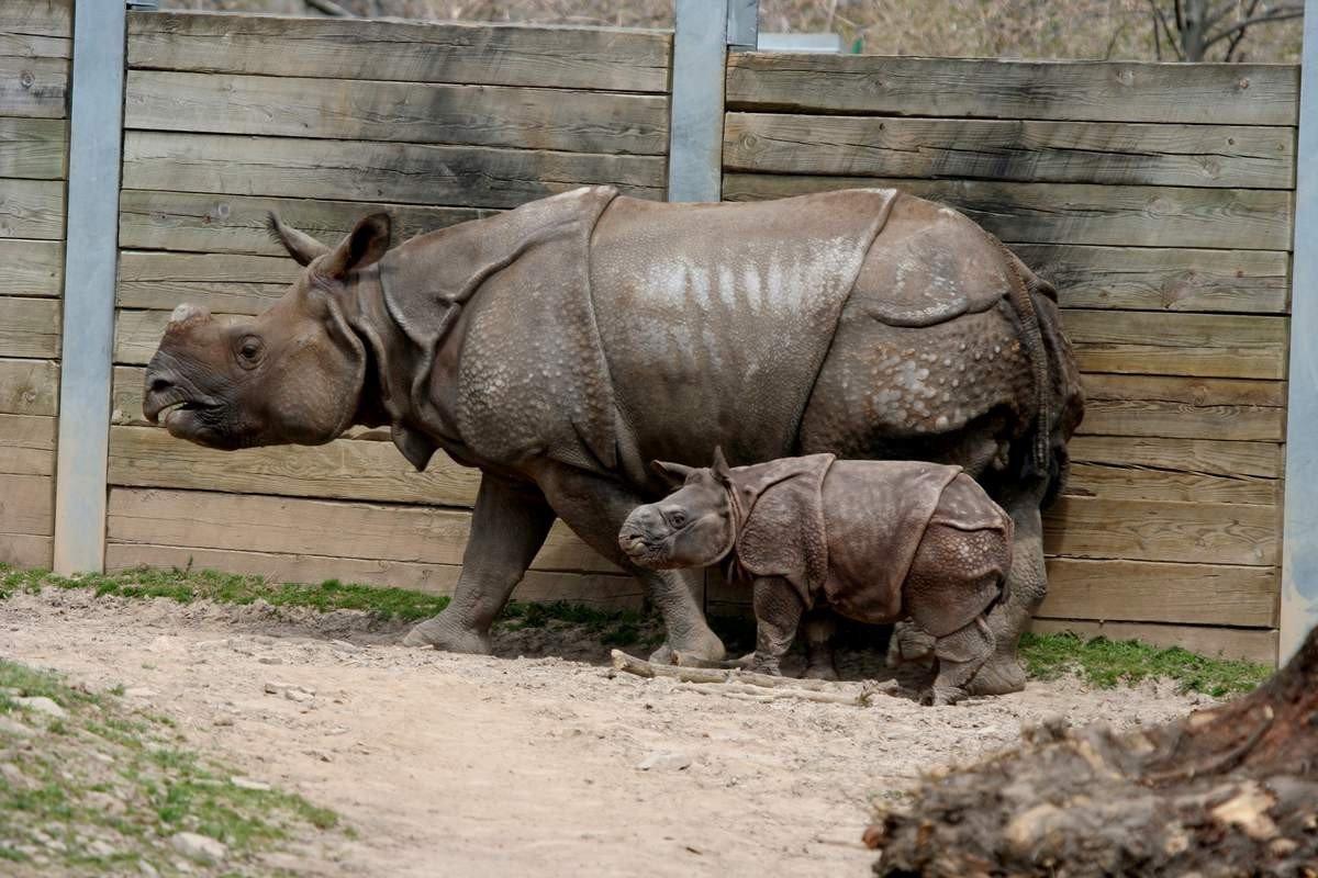 Rinocerul crește corn? Coarne de aur și copite. Rinocerii și elefanții nu sunt dușmani mortali