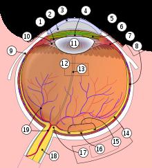 pata oarbă în viziunea umană magneți pentru urechi pentru viziune
