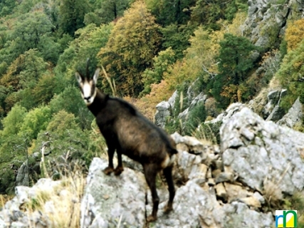 viziunea caprei