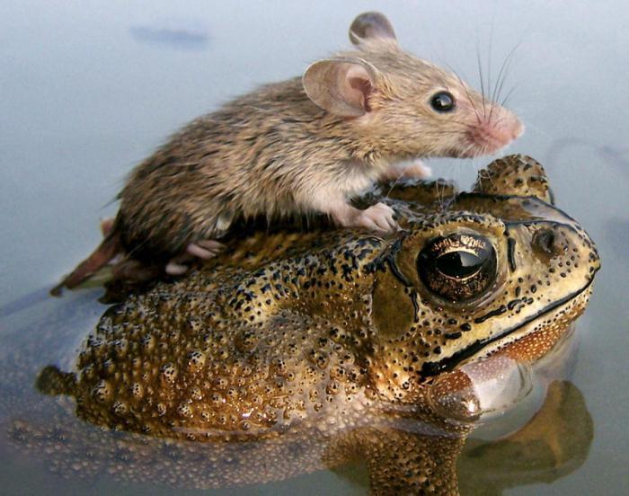 vedere foarte ascuțită la amfibieni)