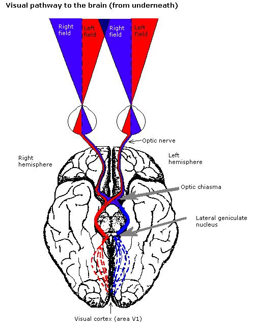 vedere geniculată laterală