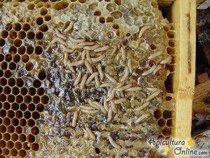 viespe înarmată cu vederea)