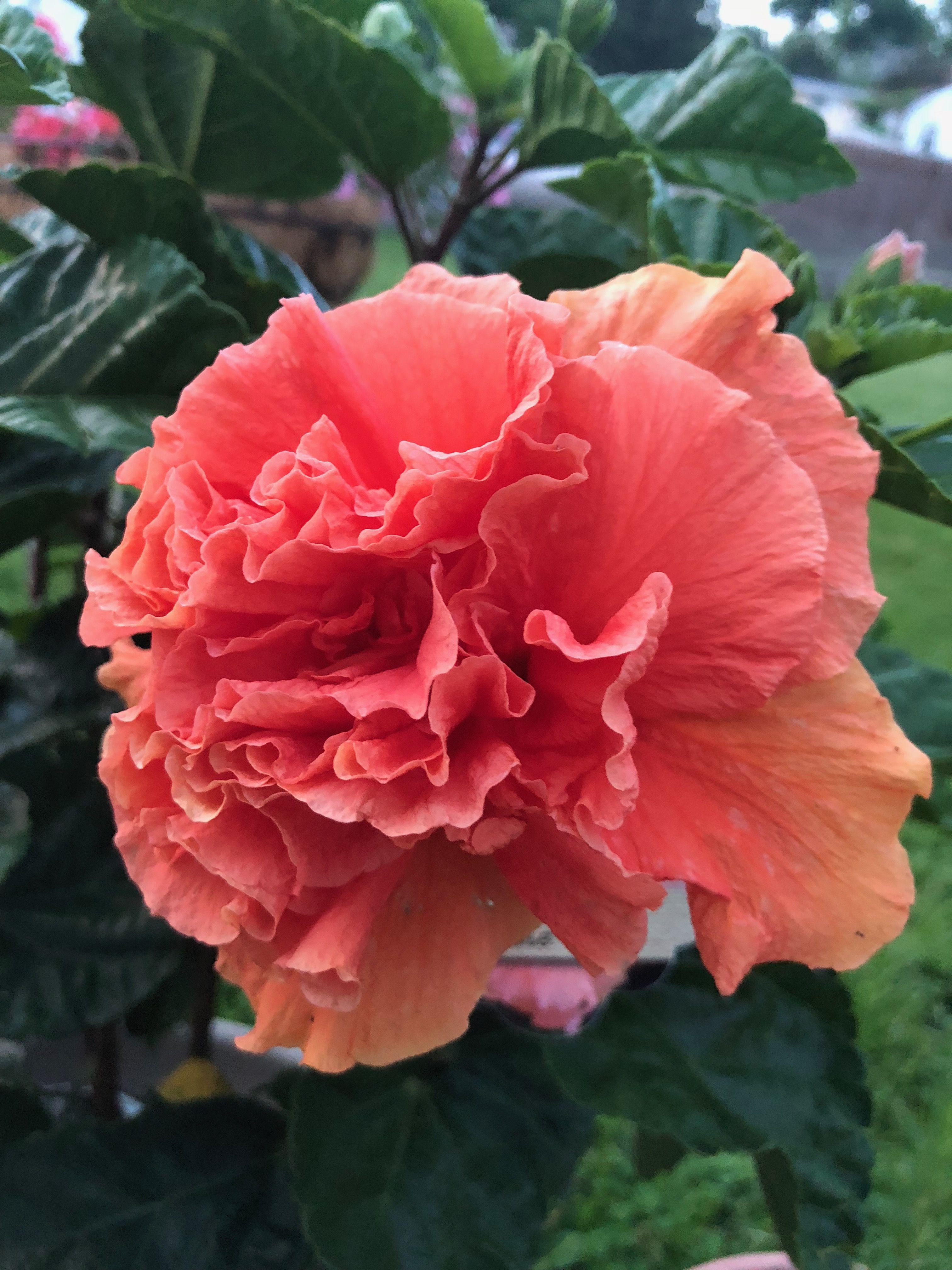 hibiscus pentru vedere