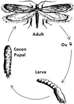 Care sunt adaptări speciale Evergreen Bagworm molii?