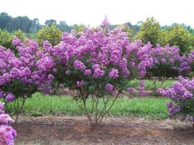 Liliac (plantă) - Wikipedia