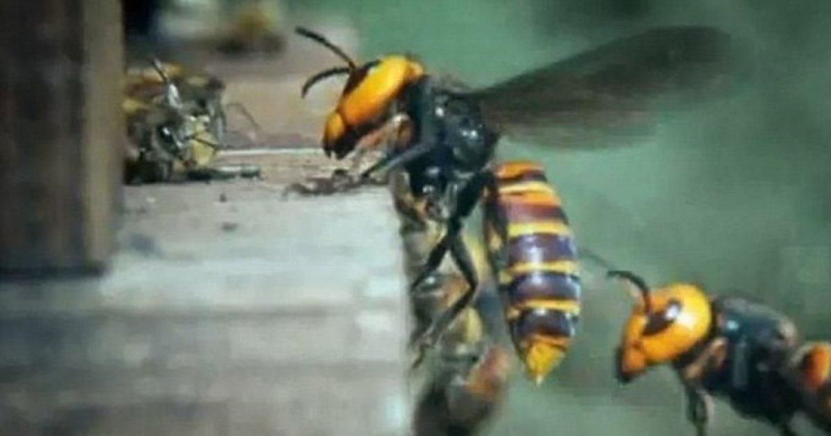 viespe înarmată cu vederea