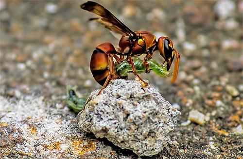 care este viziunea viespei