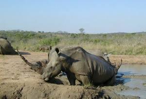 ce este viziunea rinocerului