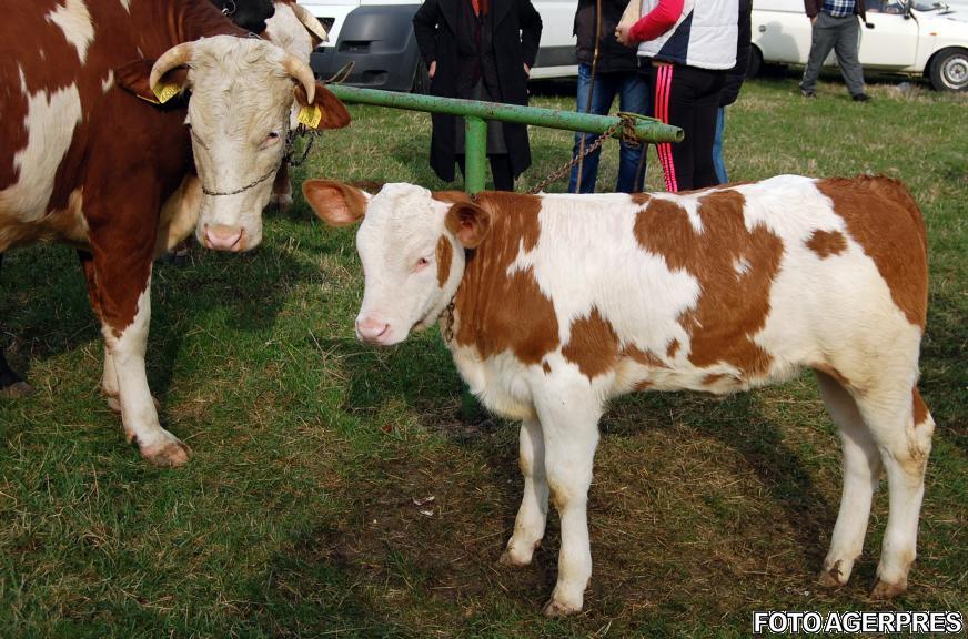 vaci și viziune)