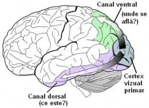 conexiunea vederii la creier)