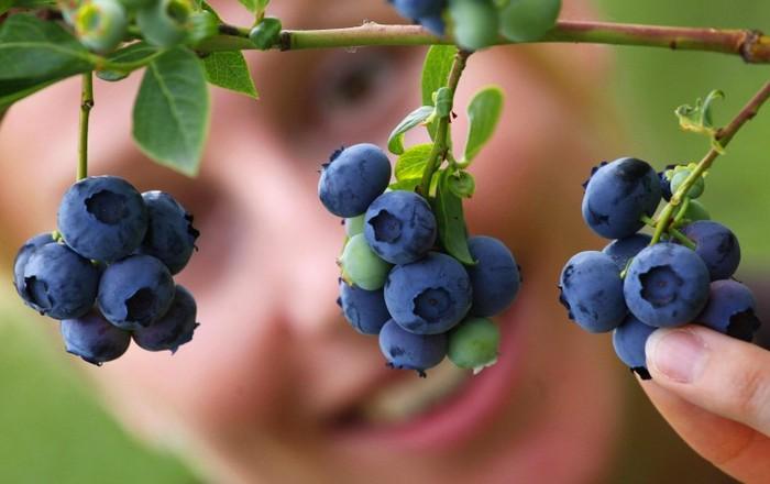 ajutoarele de afine ajută la îmbunătățirea vederii)