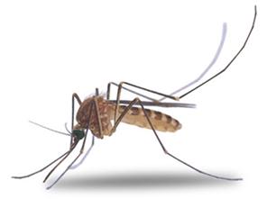 Cine este mai mare decât țânțarul feminin sau masculin. Insecta tantar