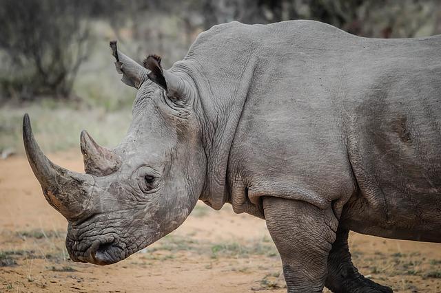 Rinocerul, un animal erbivor de mari dimensiuni