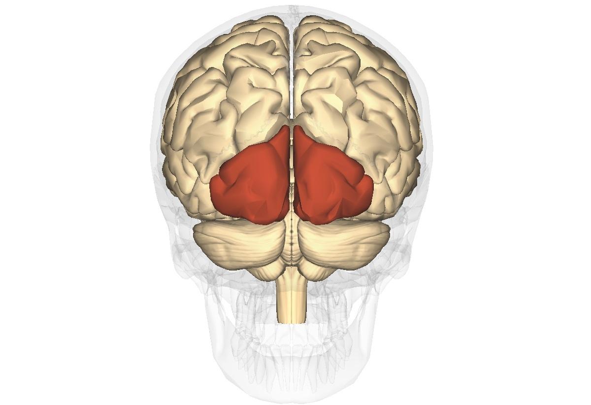 Creierul este responsabil pentru vedere