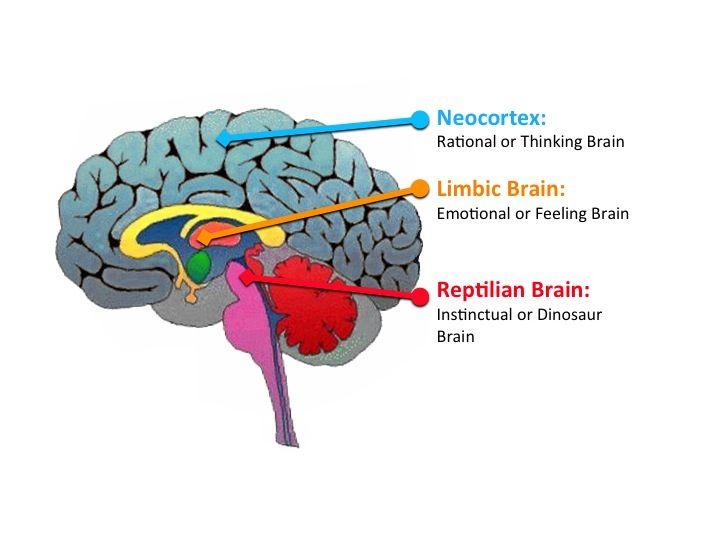 partea creierului care este responsabilă pentru vedere)