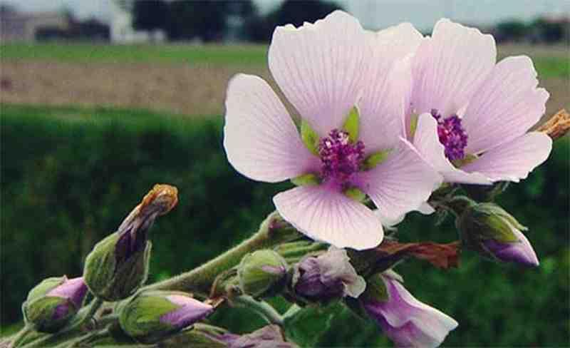 tratamentul miopiei cu flori de cartofi)