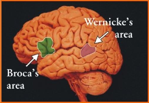 lobul creierului responsabil cu vederea