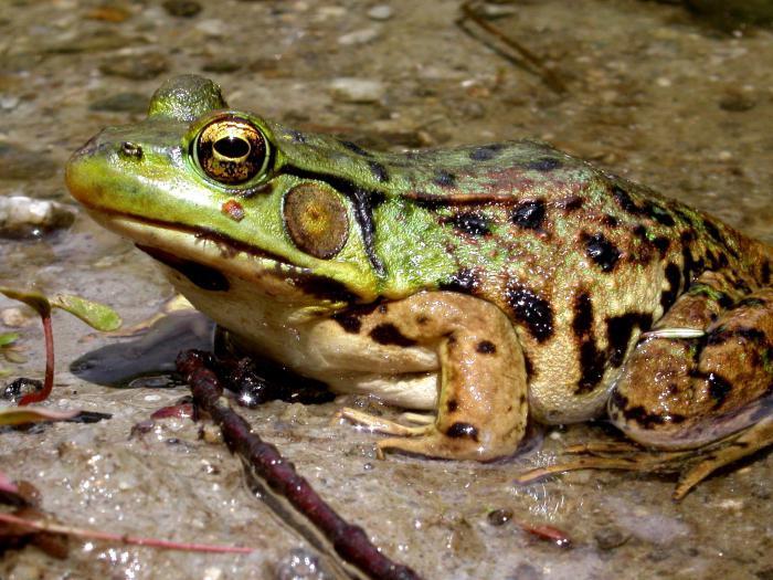 vedere foarte ascuțită la amfibieni
