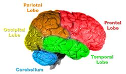 lobul creierului responsabil cu vederea)