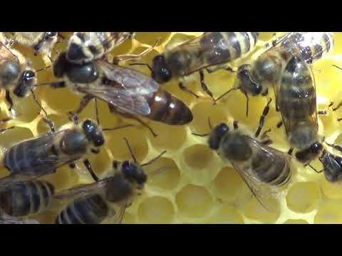 albină pentru vedere pentru ochi)