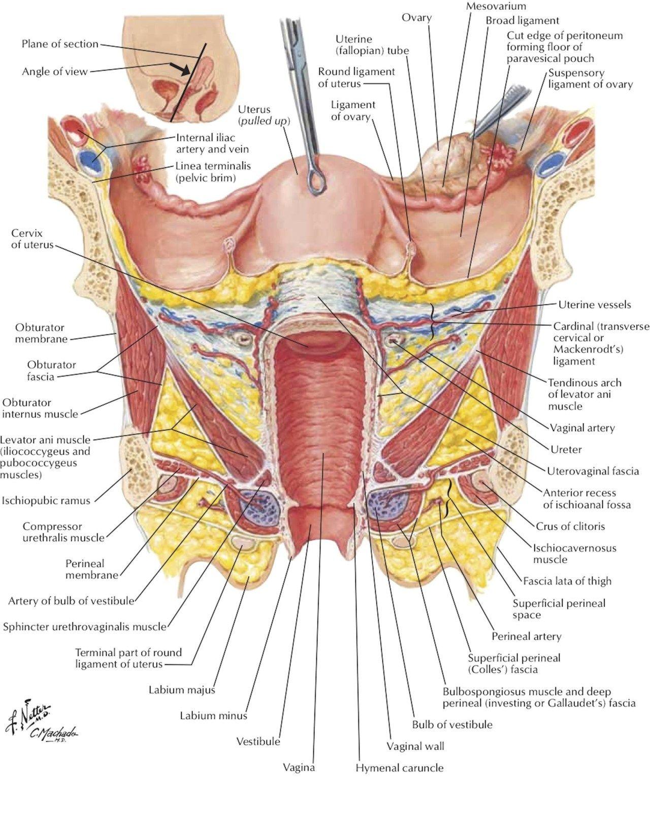 anatomie de organ)