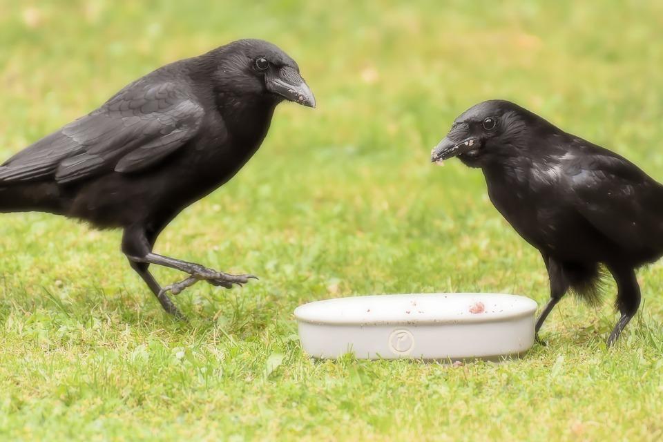ceucă, corb, cioară, raven pasăre, pasăre, ceas, vedere, cap, față, uite, sta