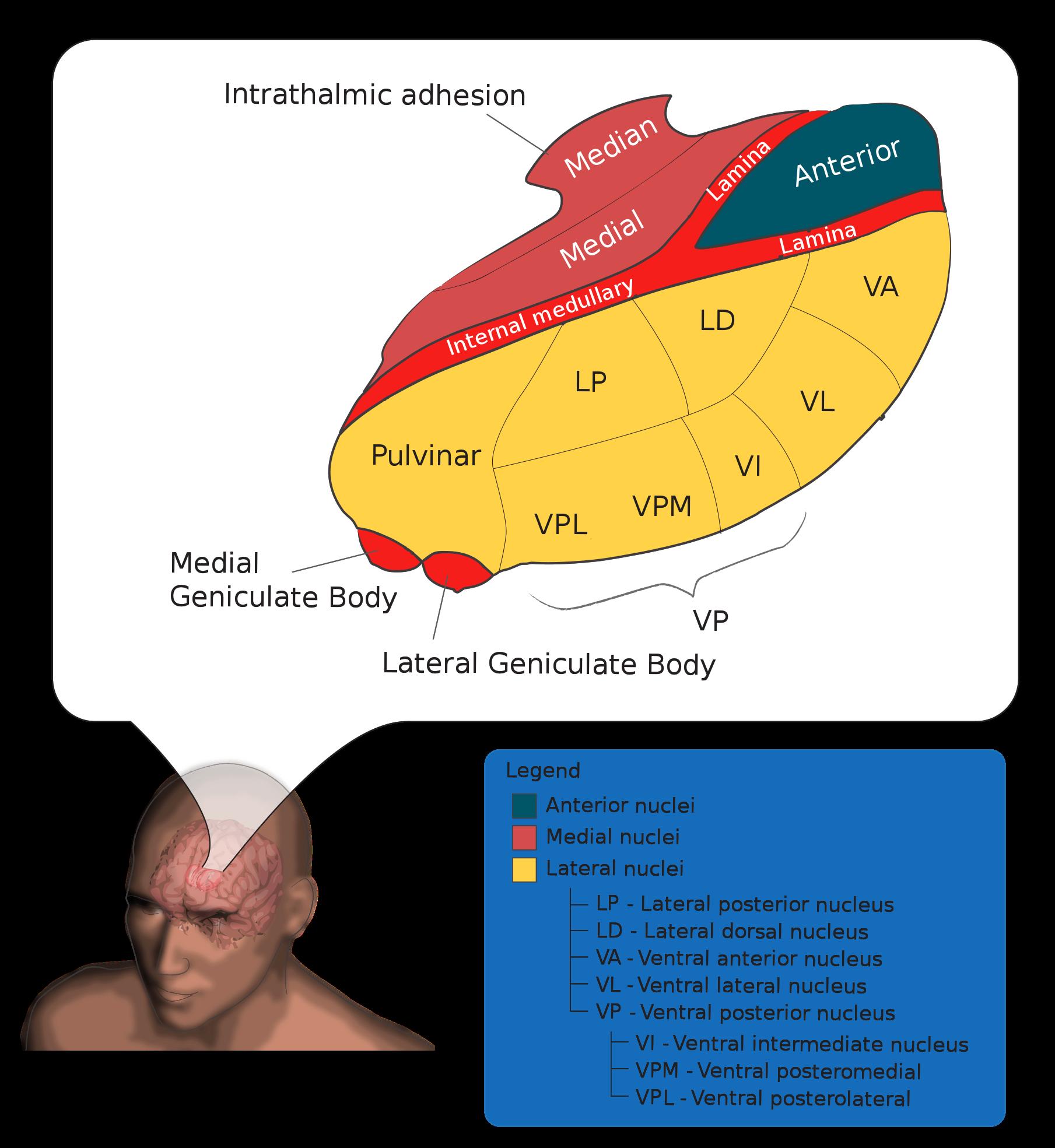 Metatalamus