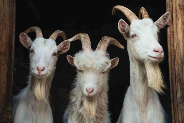 viziunea caprei)