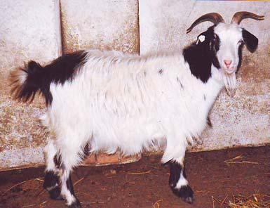 ser de capră pentru îmbunătățirea vederii)
