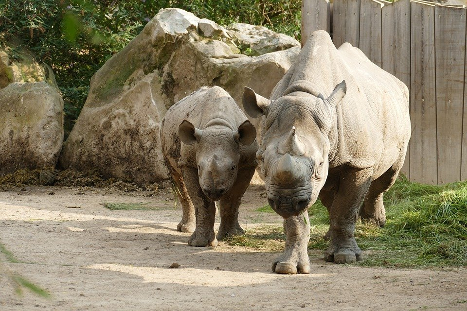 rinocer slabă vedere