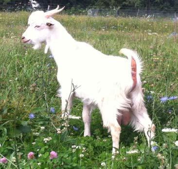 ser de capră pentru îmbunătățirea vederii