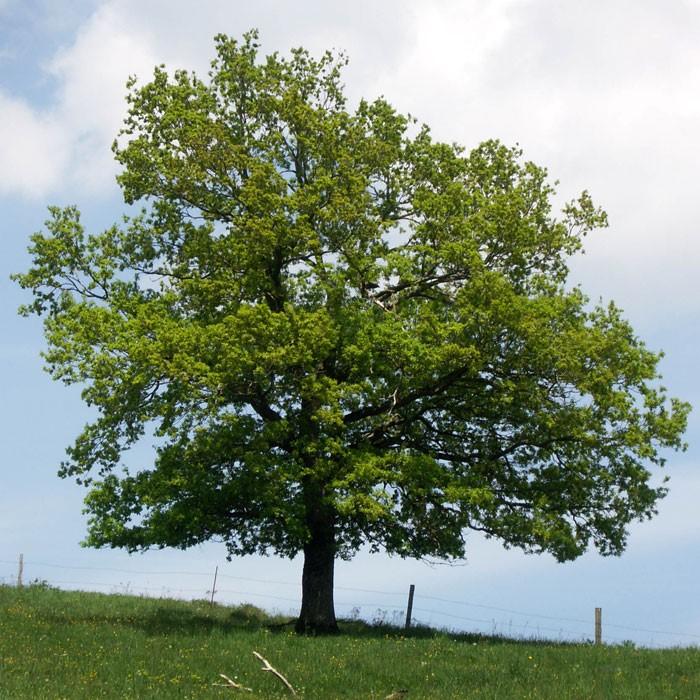 viziune de scoarță de stejar minus viziune unitară