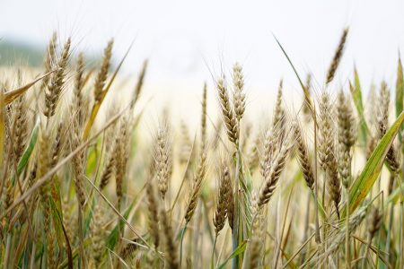 tratamentul viziunii de iarbă de grâu