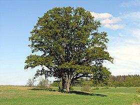 viziune de scoarță de stejar dacă viziunea este minus 1